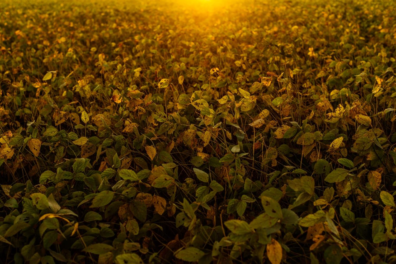 Voll ausgewachsene Soja-Pflanzen.
